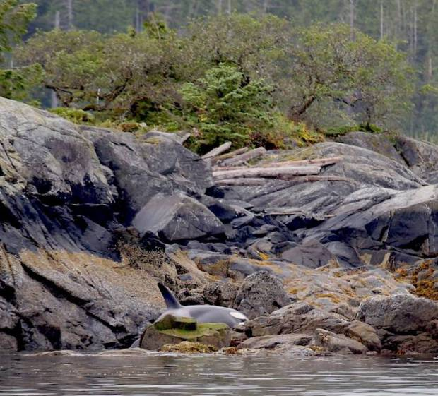 baby orca beached on rocks on Vancouver Island, Canada
