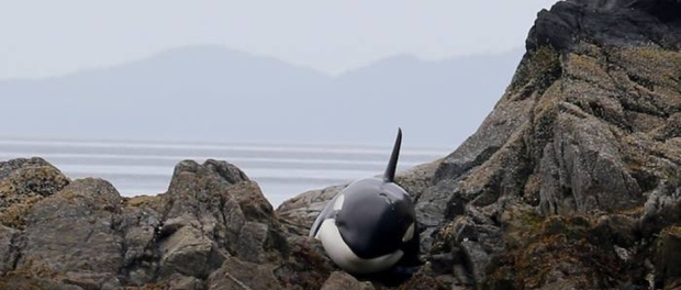 stranded orca beached on Vancouver Island, Canada