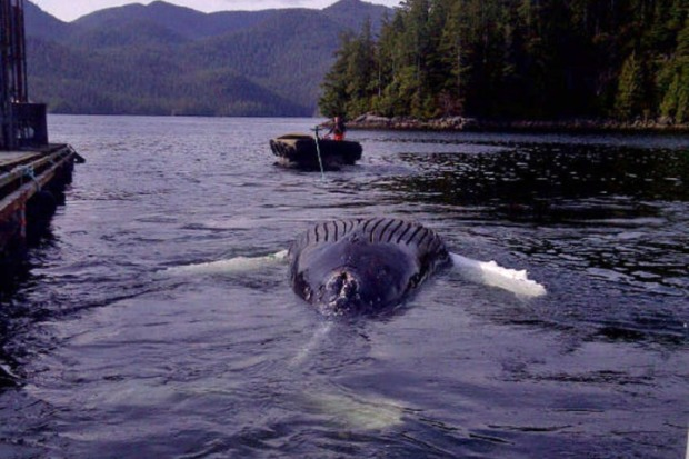 Humpback whale's carcass towed off White Rock beach