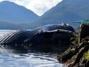 Humpback whale's carcass found along BC shoreline