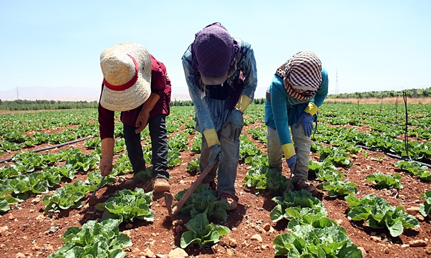 Syrian girls weed around lettuce plants in the Bekaa Valley. (Photo: Hasan Shaaban/ Observer).