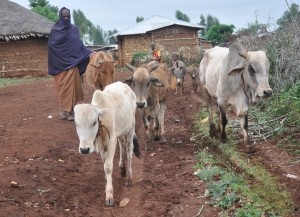 Livestock Animals East Hararghe, Oromiya Region Ethiopia. Everything has changed El Nino and the drought in Ethiopia (Photo: careclimatechange.org)